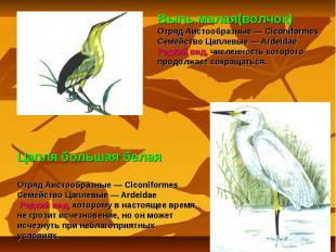 Выпь малая(волчок) Отряд Аистообразные — Ciconiformes Семейство Цаплевые — Ardei