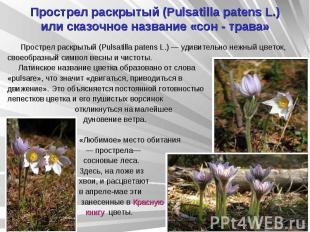 Прострел раскрытый (Pulsatilla patens L.) или сказочное название «сон - трава» П