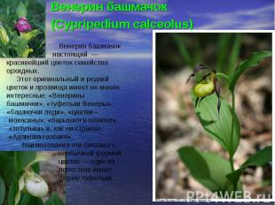 Венерин башмачок(Cypripedium calceolus) Венерин башмачок настоящий — красивейший