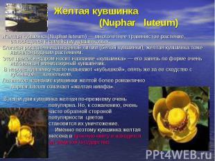 Желтая кувшинка (Nuphar luteum)Желтая кувшинка (Nuphar luteum) — многолетнее тра
