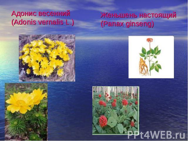 Адонис весенний (Adonis vernalis L.)Женьшень настоящий (Panax ginseng)