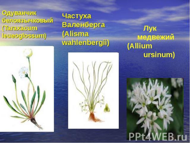 Одуванчик белоязычковый (Taraxacum leueoglossum)Частуха Валенберга (Alisma wahlenbergii) Лук медвежий (Allium ursinum)