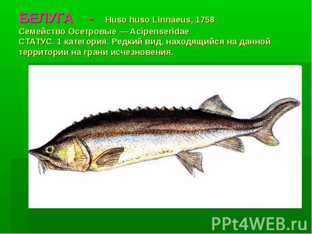 БЕЛУГА - Huso huso Linnaeus, 1758 Семейство Осетровые — Acipenseridae СТАТУС. 1 категория. Редкий вид, находящийся на данной территории на грани исчезновения.