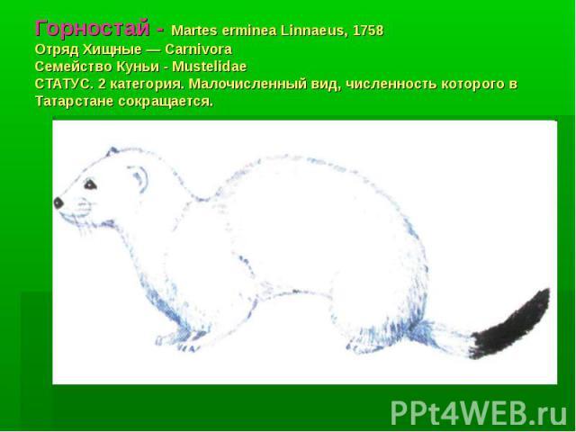 Горностай - Martes erminea Linnaeus, 1758 Отряд Хищные — Carnivora Семейство Куньи - Mustelidae СТАТУС. 2 категория. Малочисленный вид, численность которого в Татарстане сокращается.