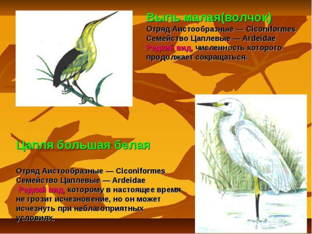 Выпь малая(волчок) Отряд Аистообразные — Ciconiformes Семейство Цаплевые — Ardeidae Редкий вид, численность которого продолжает сокращаться. Цапля большая белаяОтряд Аистообразные — Ciconiformes Семейство Цаплевые — Ardeidae Редкий вид, которому в н…
