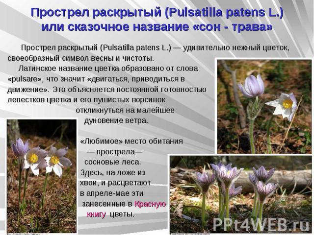 Прострел раскрытый (Pulsatilla patens L.) или сказочное название «сон - трава» Прострел раскрытый (Pulsatilla patens L.) — удивительно нежный цветок, своеобразный символ весны и чистоты. Латинское название цветка образовано от слова «pulsare», что з…