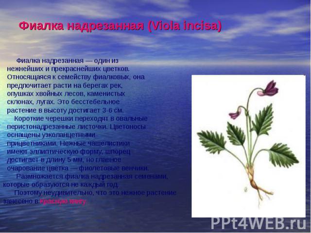 Фиалка надрезанная (Viola incisa) Фиалка надрезанная — один из нежнейших и прекраснейших цветков. Относящаяся к семейству фиалковых, она предпочитает расти на берегах рек, опушках хвойных лесов, каменистых склонах, лугах. Это бесстебельное растение …