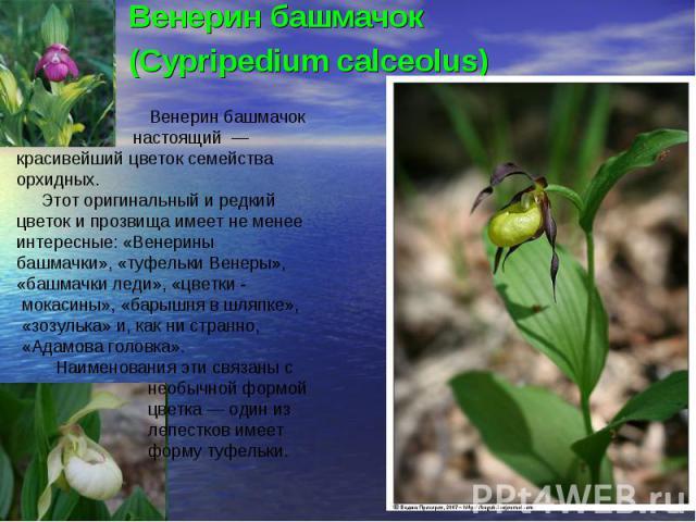 Венерин башмачок(Cypripedium calceolus) Венерин башмачок настоящий — красивейший цветок семейства орхидных. Этот оригинальный и редкий цветок и прозвища имеет не менее интересные: «Венерины башмачки», «туфельки Венеры», «башмачки леди», «цветки - мо…