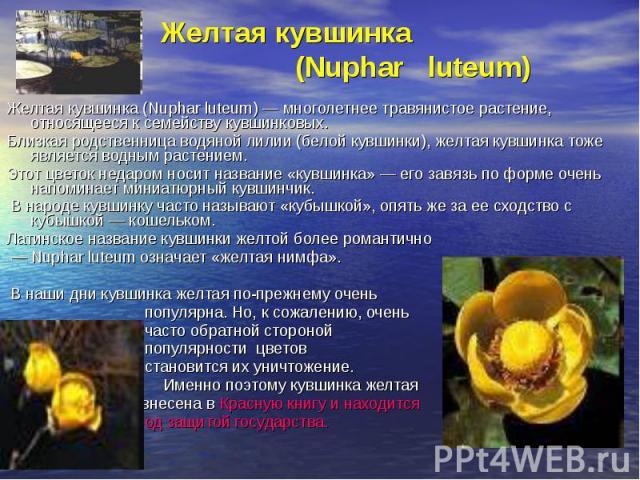 Желтая кувшинка (Nuphar luteum)Желтая кувшинка (Nuphar luteum) — многолетнее травянистое растение, относящееся к семейству кувшинковых. Близкая родственница водяной лилии (белой кувшинки), желтая кувшинка тоже является водным растением. Этот цветок …