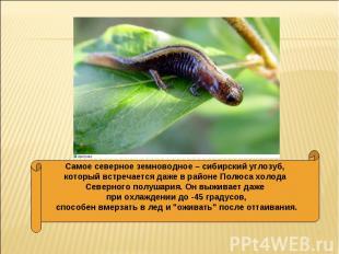 Самое северное земноводное – сибирский углозуб, который встречается даже в район