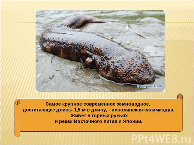 Самое крупное современное земноводное, достигающее длины 1,5 м в длину, - исполинская саламандра. Живет в горных ручьяхи реках Восточного Китая и Японии.