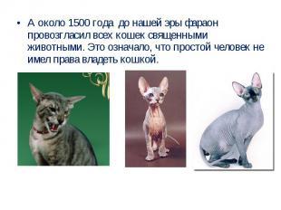 А около 1500 года до нашей эры фараон провозгласил всех кошек священными животны