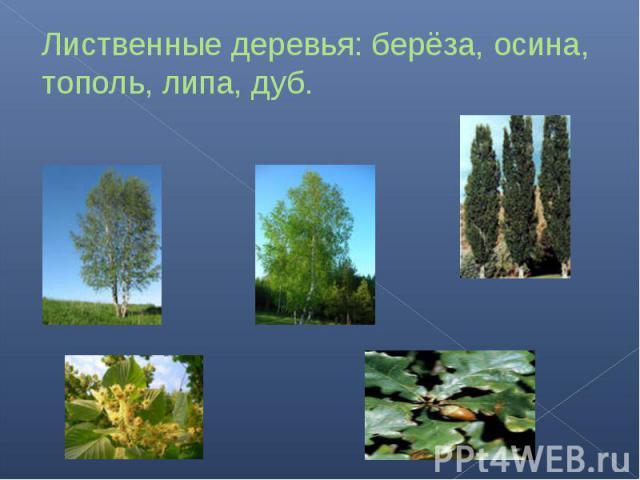 Лиственные деревья: берёза, осина, тополь, липа, дуб.