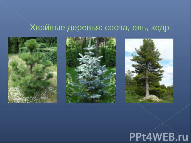Хвойные деревья: сосна, ель, кедр.