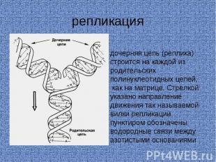 репликация дочерняя цепь (реплика) строится на каждой из родительских полинуклео