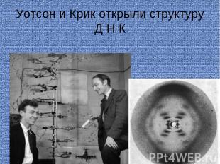 Уотсон и Крик открыли структуру Д Н К