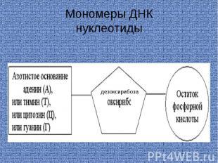 Мономеры ДНКнуклеотиды