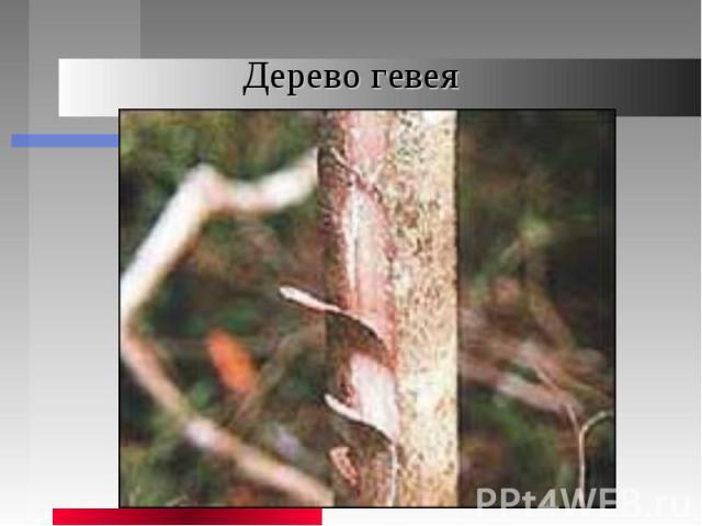 Дерево гевея