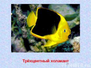 Трёхцветный холакант