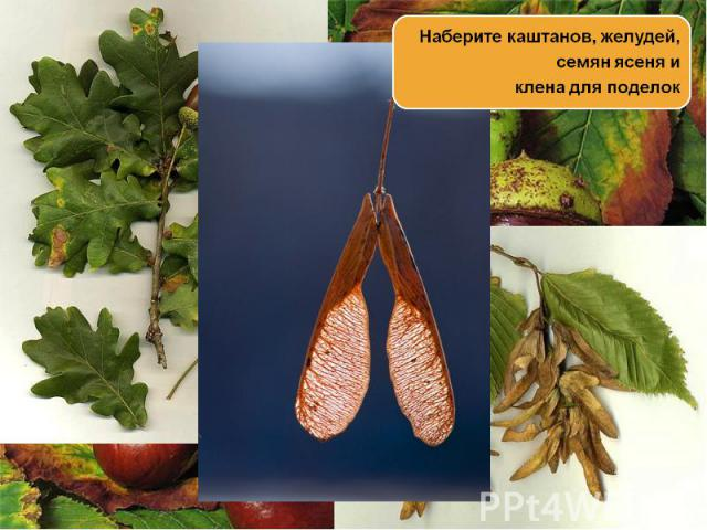 Наберите каштанов, желудей, семян ясеня и клена для поделок