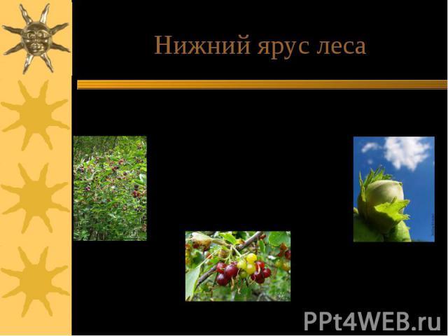 Нижний ярус леса Нижний ярус леса состоит из клена татарского, лещины, рябины, боярышника, реже дикой яблони и груши. Зарослями растут кустарники: бересклет бородавчатый, терн, крушина.