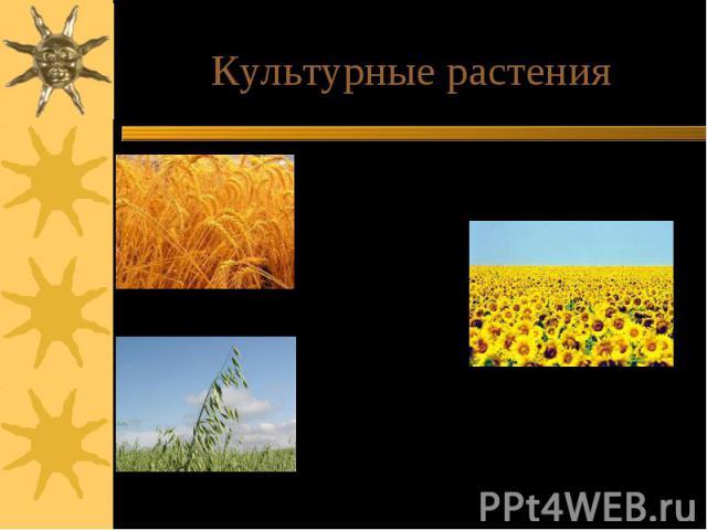 Культурные растенияСтепные участки в большей степени распаханы и представляют культурный ландшафт. В нашем районе выращивают пшеницу, рожь, ячмень, овес. Зерно этих культур идет на корм скоту.Подсолнечник выращивают для производства масла.