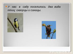 У нас в саду поселились два вида птиц: скворцы и синицы.