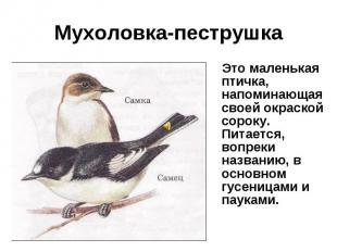 Мухоловка-пеструшка Это маленькая птичка, напоминающая своей окраской сороку. Пи