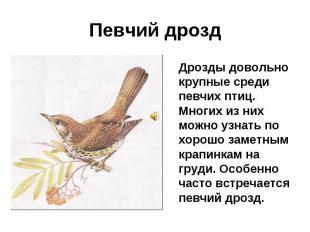 Певчий дрозд Дрозды довольно крупные среди певчих птиц. Многих из них можно узна