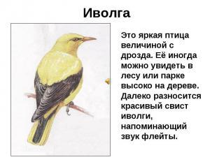 Иволга Это яркая птица величиной с дрозда. Её иногда можно увидеть в лесу или па