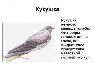 Кукушка Кукушка немного меньше голубя. Она редко попадается на глаза, но выдает