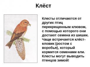 Клёст Клесты отличаются от других птиц перекрещенным клювом, с помощью которого