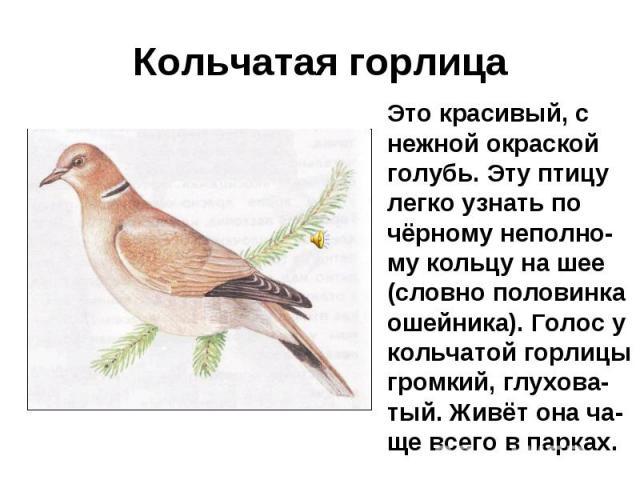 Кольчатая горлица Это красивый, с нежной окраской голубь. Эту птицу легко узнать по чёрному неполно-му кольцу на шее (словно половинка ошейника). Голос у кольчатой горлицы громкий, глухова-тый. Живёт она ча-ще всего в парках.