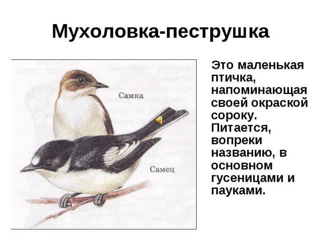 Мухоловка-пеструшка Это маленькая птичка, напоминающая своей окраской сороку. Питается, вопреки названию, в основном гусеницами и пауками.