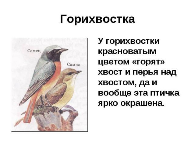 Горихвостка У горихвостки красноватым цветом «горят» хвост и перья над хвостом, да и вообще эта птичка ярко окрашена.