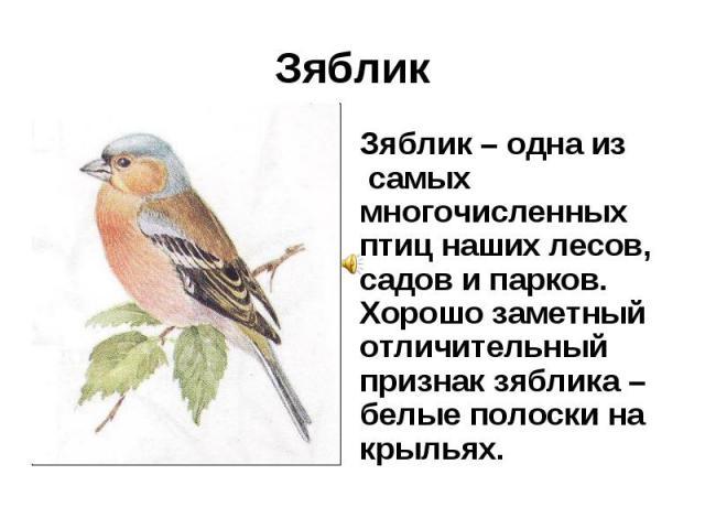 Зяблик Зяблик – одна из самых многочисленных птиц наших лесов, садов и парков. Хорошо заметный отличительный признак зяблика – белые полоски на крыльях.