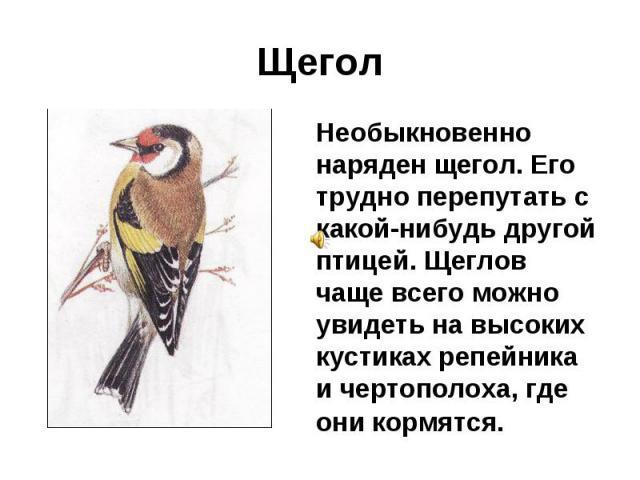 Щегол Необыкновенно наряден щегол. Его трудно перепутать с какой-нибудь другой птицей. Щеглов чаще всего можно увидеть на высоких кустиках репейника и чертополоха, где они кормятся.