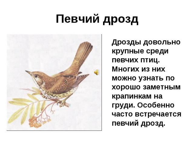 Певчий дрозд Дрозды довольно крупные среди певчих птиц. Многих из них можно узнать по хорошо заметным крапинкам на груди. Особенно часто встречается певчий дрозд.