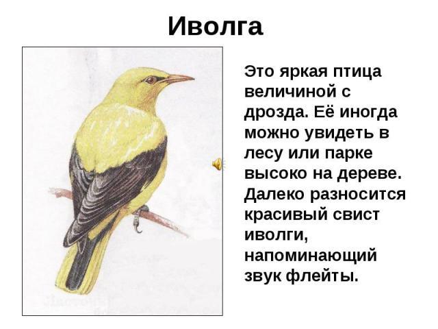 Иволга Это яркая птица величиной с дрозда. Её иногда можно увидеть в лесу или парке высоко на дереве. Далеко разносится красивый свист иволги, напоминающий звук флейты.