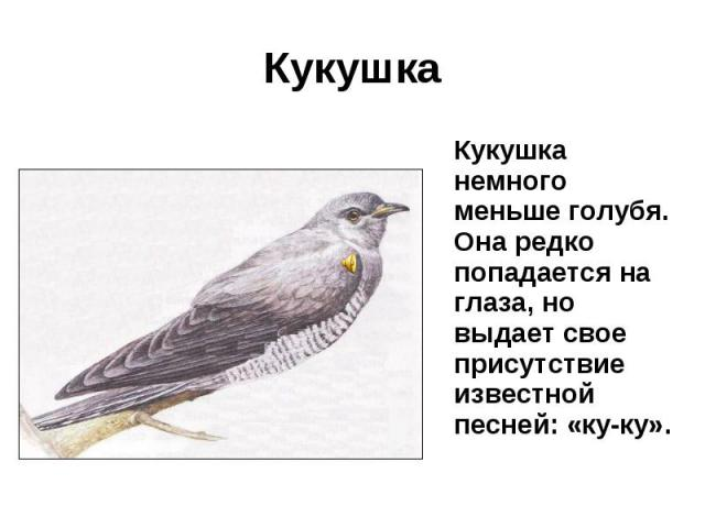 Кукушка Кукушка немного меньше голубя. Она редко попадается на глаза, но выдает свое присутствие известной песней: «ку-ку».
