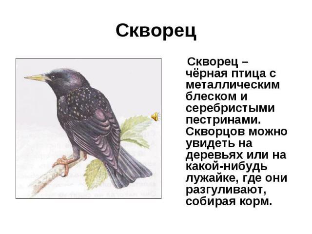Скворец Скворец – чёрная птица с металлическим блеском и серебристыми пестринами. Скворцов можно увидеть на деревьях или на какой-нибудь лужайке, где они разгуливают, собирая корм.