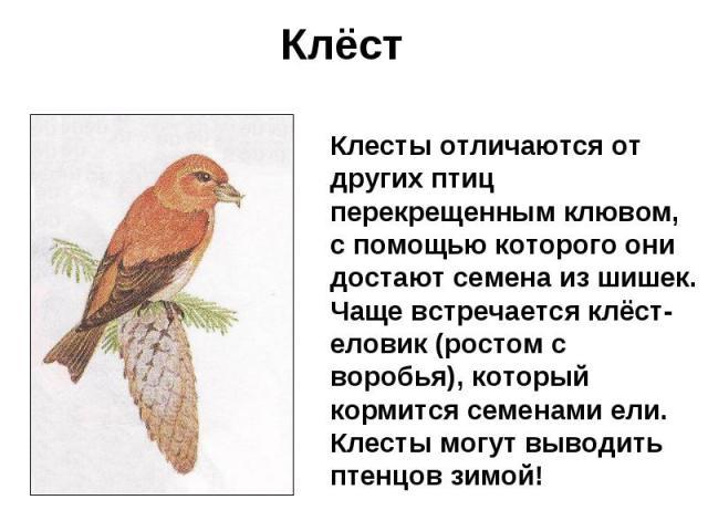 Клёст Клесты отличаются от других птиц перекрещенным клювом, с помощью которого они достают семена из шишек. Чаще встречается клёст-еловик (ростом с воробья), который кормится семенами ели. Клесты могут выводить птенцов зимой!