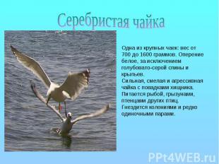 Серебристая чайка Одна из крупных чаек: вес от 700 до 1600 граммов. Оперение бел