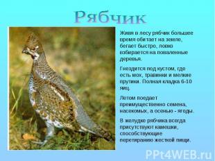 Рябчик Живя в лесу рябчик большее время обитает на земле, бегает быстро, ловко в