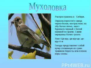 Мухоловка Распространена в Сибири. Окраска взрослого самца черно-белая, контраст