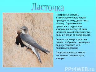 Ласточка Прекрасные летуны, значительную часть жизни проводят на лету, даже пьют