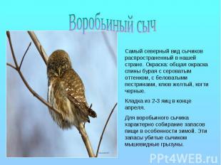 Воробьиный сыч Самый северный вид сычиков распространенный в нашей стране. Окрас