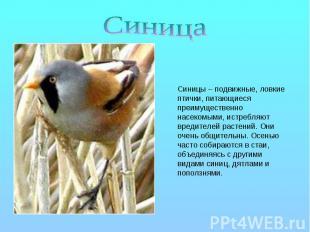 Синица Синицы – подвижные, ловкие птички, питающиеся преимущественно насекомыми,