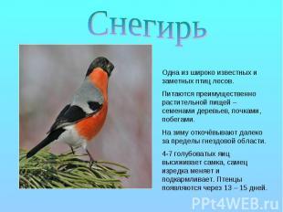 Снегирь Одна из широко известных и заметных птиц лесов. Питаются преимущественно