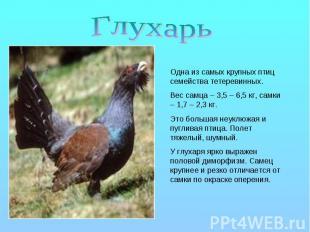 Глухарь Одна из самых крупных птиц семейства тетеревинных. Вес самца – 3,5 – 6,5
